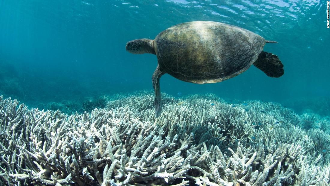 A turtle swims over bleached coral at Heron Island on the Great Barrier Reef in February 2016. Mass bleaching events like this have become more common as the oceans warm and grow more acidic.