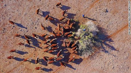 Farmer Ash Whitney cuts off branches to feed his cattle in a drought-affected paddock in Gunnedah, Australia.