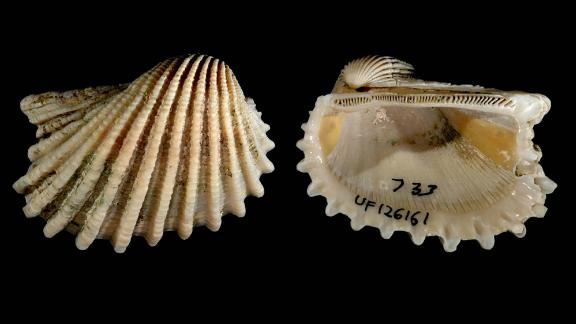 Anadara aequalitas was included in a new study of fossil and extant bivalves and gastropods in the Atlantic Ocean that suggests laziness might be a fruitful strategy for survival of individuals, species and even communities of species.
