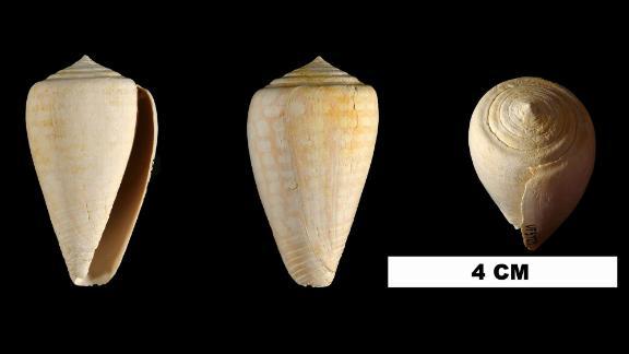 Conus yaquensis