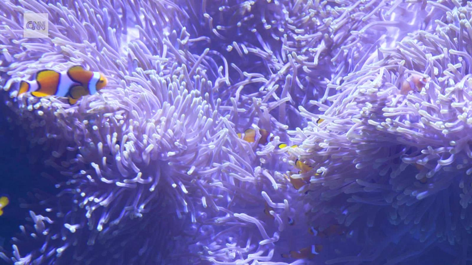 saving nemo the mission to protect the clownfish cnn