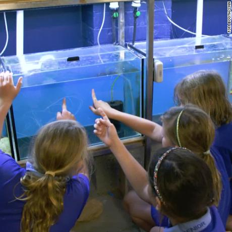Pupils at Belgian Gardens Primary School in the Australian city of Townsville volunteer to help breed baby clownfish.