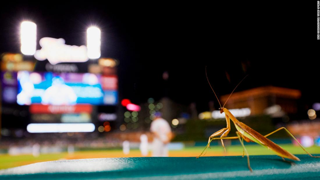 A praying mantis is seen from the dugout during a Major League baseball game in Detroit on Wednesday, August 22.