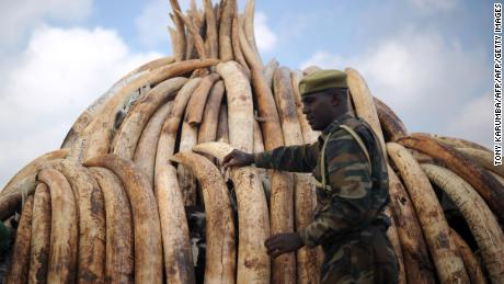 A Kenya Wildlife Services ranger stands guard by a stack of elephant tusks piled up onto pyres in preparation for a historic destruction of illegal ivory and rhino-horn confiscated mostly from poachers in Nairobi's national park. A study released last month found that the mortality rate for African elephants has declined to 4% in 2017, down from 10% in 2011.