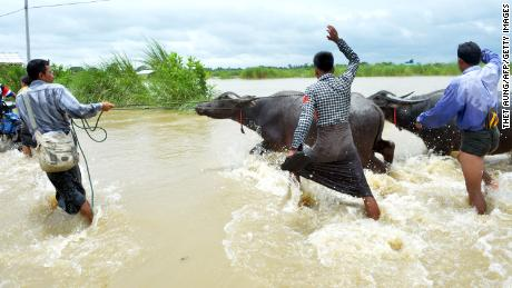 Farmers evacuate water buffalo on a flooded road after rampaging waters from Swar Chaung dam submerged villages in the Bago region.