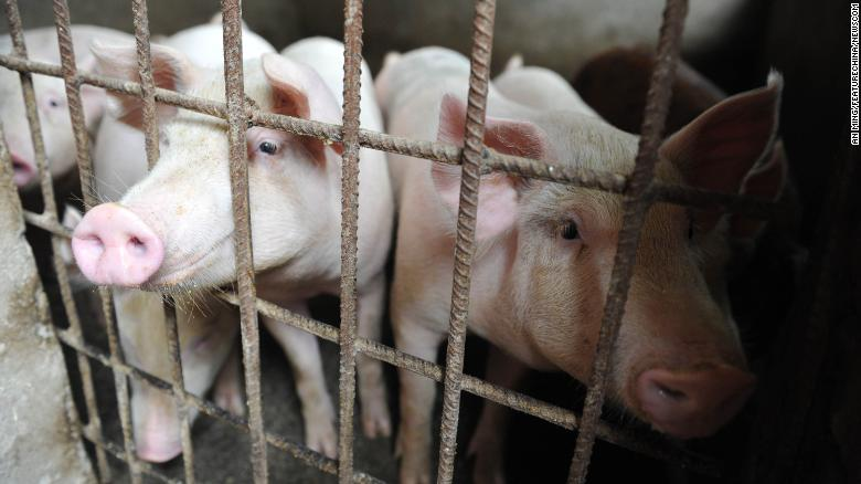 Soybeans are used as a protein-rich feed for animals like pigs.