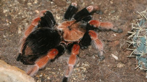 A Mexican fireleg tarantula, one of the exotic insects stolen.
