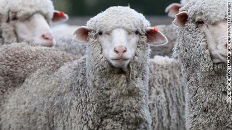 FAIRLIE, NEW ZEALAND - APRIL 03:  The sheep wait in the yards to be checked for foot rot at Blue Mountain Station on April 3, 2018 in Fairlie, New Zealand. The station has 15,000 Merino sheep over 30,000 acres of land. Two full time shepherds plus station owner Roddy Brown and casual workers care for the sheep, mustering on foot with dogs. Merinos are prized for their wool, and are regarded as having some of the finest and softest wool of any sheep in the world. New Zealand is the third largest global Merino supplier, with the NZ Merino wool market valued at approximately US$100 million.  (Photo by Fiona Goodall/Getty Images)