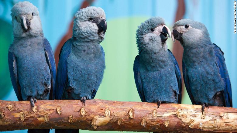 As araras de Spix sentam-se em uma filial em seu aviário na Associação para a Conservação de Papagaios Ameaçados na Alemanha.