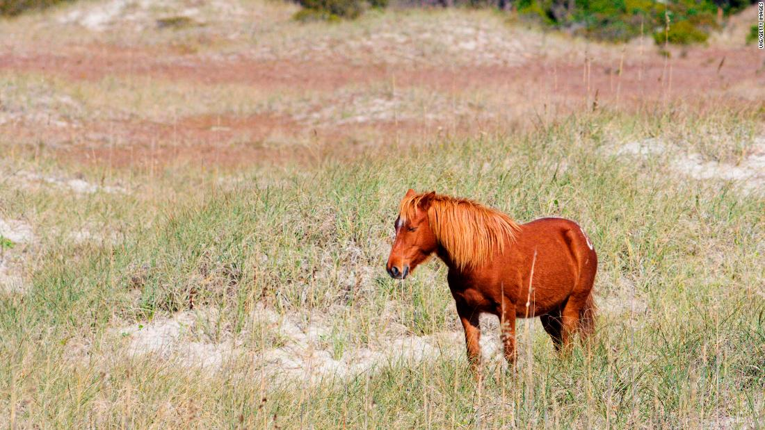 wild horses lean on instinct to survive hurricane florence in north