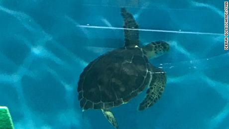 This green sea turtle was moved from the ICU to rehab for the storm