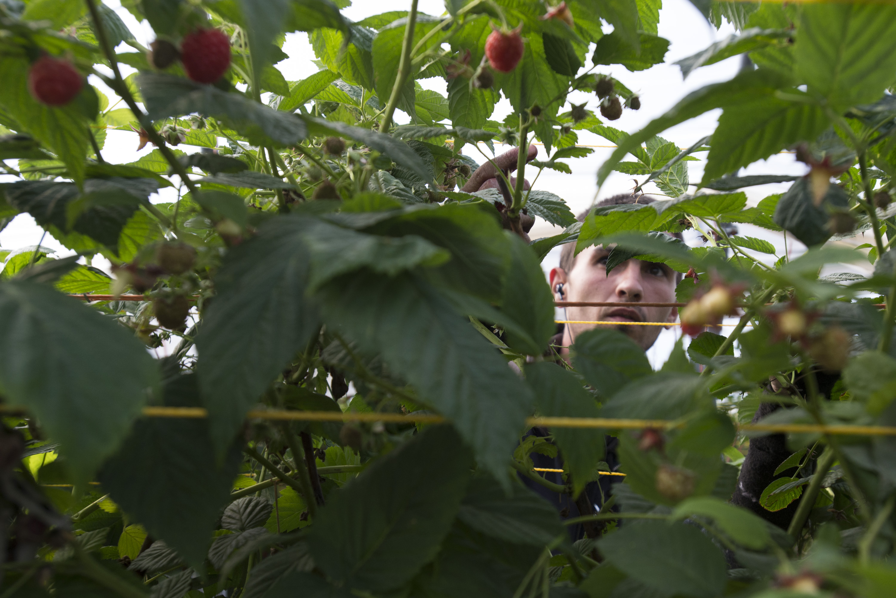 UK fruit farmers feel the squeeze as Brexit looms