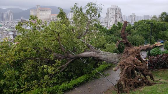 A large tree blown over next to the old Portuguese castle in Macau, after Typhoon Mangkhut flooded the city on Sunday.