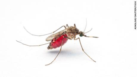 Microplastics were found to remain in the bodies of mosquitoes throughout their lifecycles