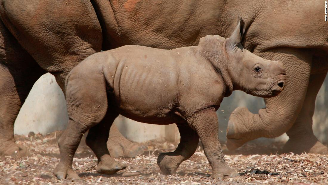 A 3-week-old baby rhino walks in the Ramat Gan Safari Park, near Tel Aviv, Israel, on Monday, September 17.