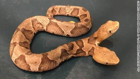 A rare two-headed copperhead discovered in Virginia