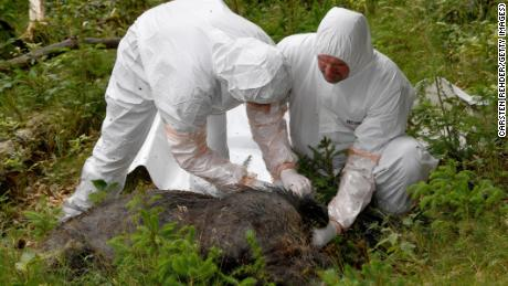 Veterinarians inspect a dead boar as part of a swine fever outbreak practice in Germany in June.