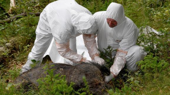 Veterinarians inspect a dead boar as part of a swine fever outbreak practice in Germany in June.