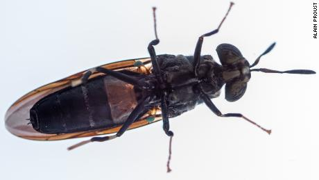 The black soldier fly, which is bred at AgriProtein's factories.