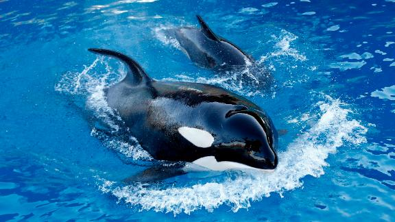 An orca swims with its baby on December 10, 2013 at the Marineland animal exhibition park in the French Riviera city of Antibes, southeastern France.  AFP PHOTO / VALERY HACHE        (Photo credit should read VALERY HACHE/AFP/Getty Images)