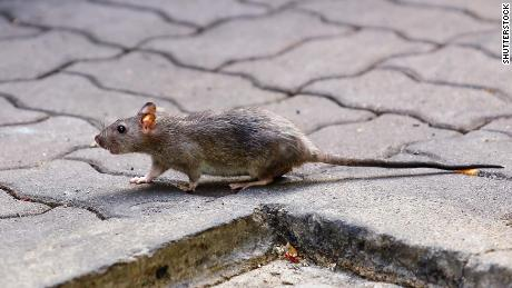 First human case of the world discovered in rat diseases