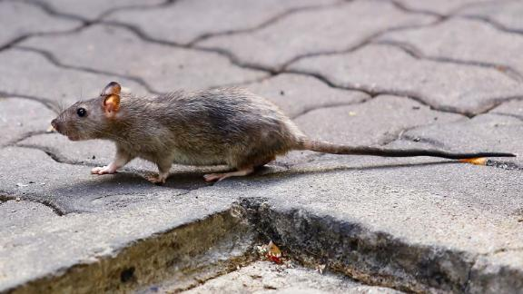A case of rat hepatitis E was discovered in a human for the first time.