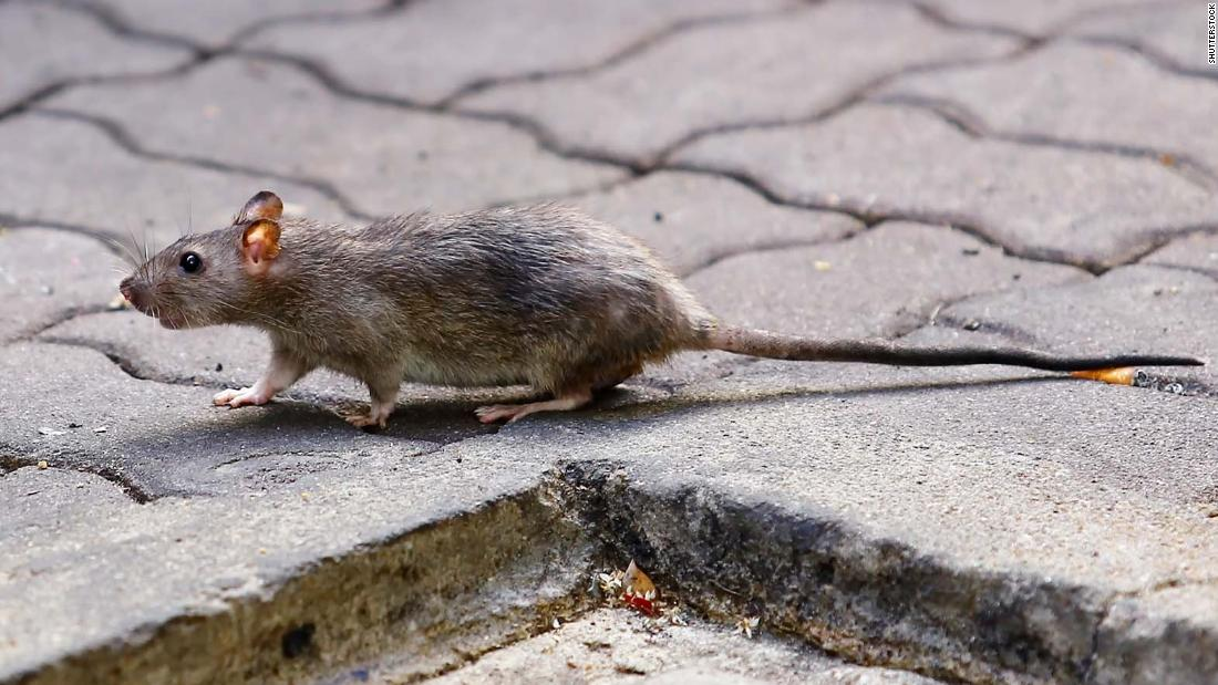 rat disease world s first human case discovered in hong kong cnn