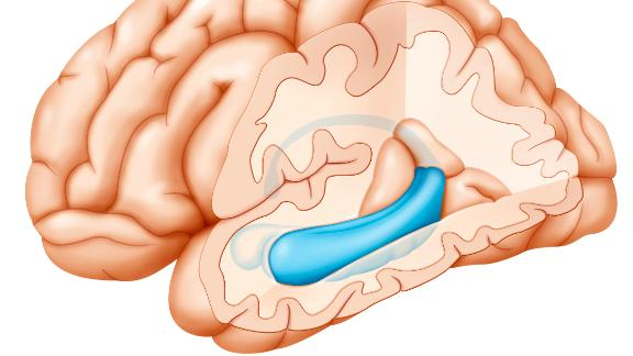 Cross-section illustration of the brain highlighting the hippocampus (blue) and in front of the hippocampus, the amygdala.