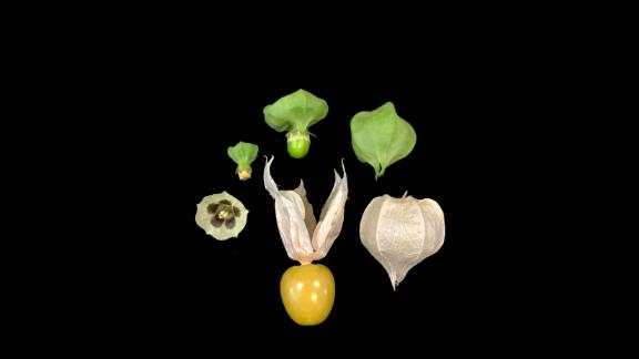 Scientists used an approach that combines genomics and genetics to improve the groundcherry