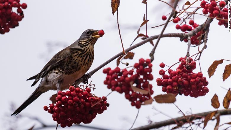 [Image: 181004102106-birds-with-berries-restrict...ge-169.jpg]