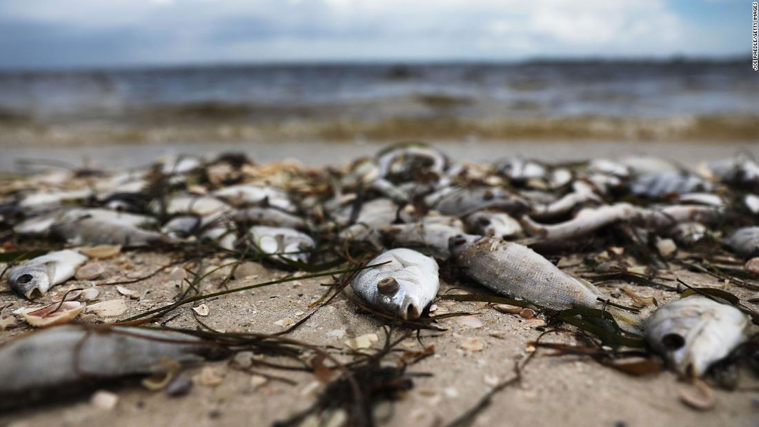 Fish are washed ashore near Sanibel during the historic red tide of 2017 and 2018.