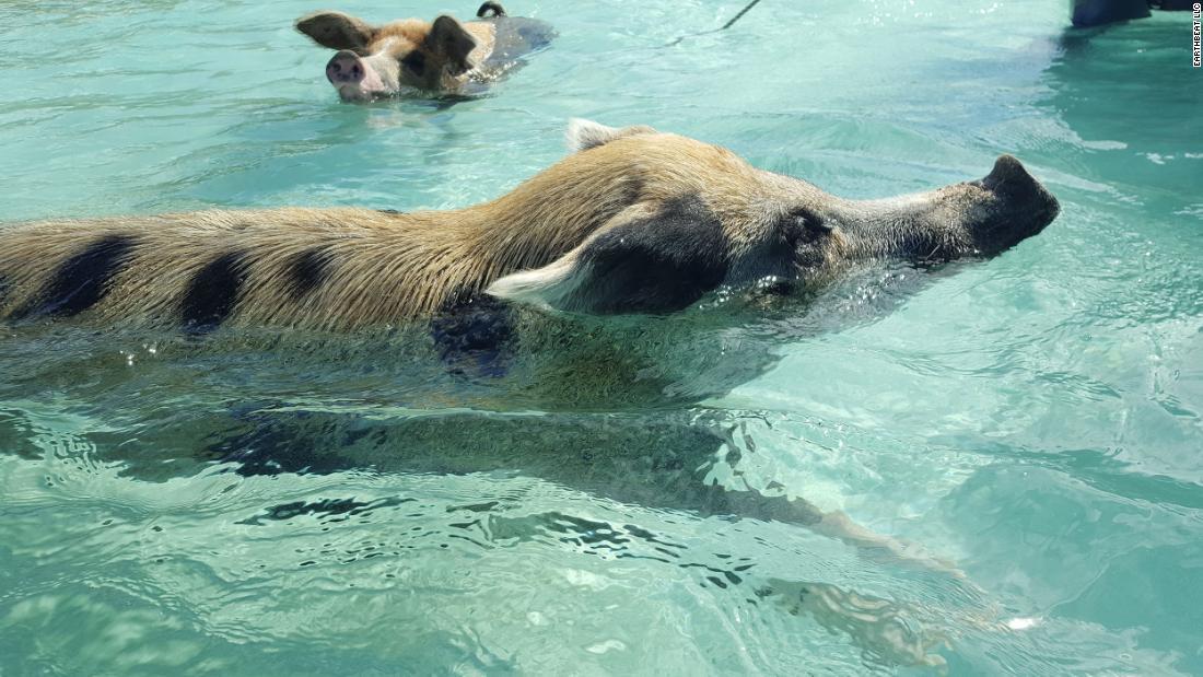 The Bahamas beach where piggies swim