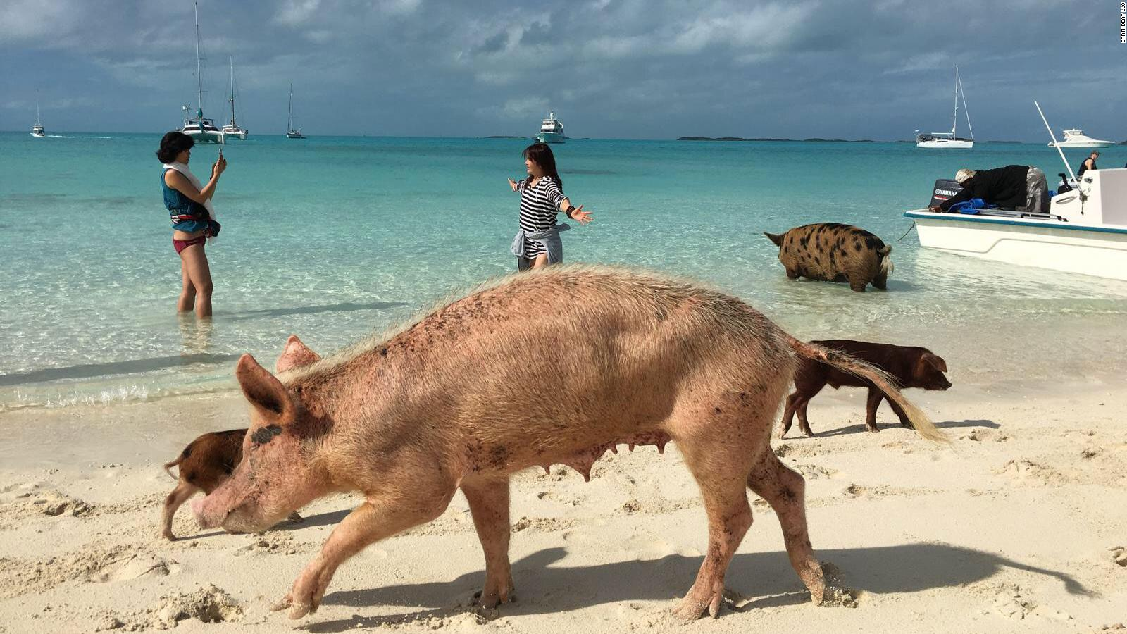 Bahamas' swimming pigs head to boats in hopes of food | CNN
