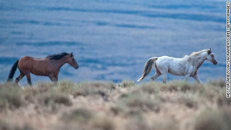 Two wild horses gallop in Lassen County near Susanville, California.