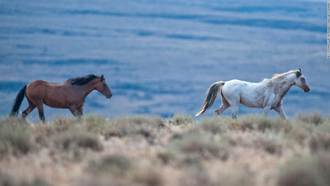 california wild horse roundup some might end up in slaughterhouses