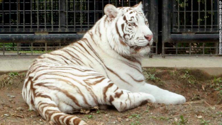 white tiger kills keeper in japan cnn