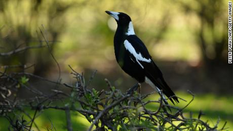 A magpie sitting on a hedge in Sydney in 2014.