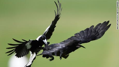A magpie attacks a crow in flight during day 3 of the four day tour match between Cricket Australia XI and England in Australia on November 17, 2017.