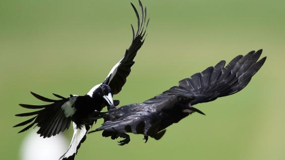 TOWNSVILLE, AUSTRALIA - NOVEMBER 17:  A magpie attacks a crow in flight during day 3 of the four day tour match between Cricket Australia XI and England at Tony Ireland Stadium on November 17, 2017 in Townsville, Australia.  (Photo by Ian Hitchcock/Getty Images) Images)  (Photo by Ian Hitchcock/Getty Images)