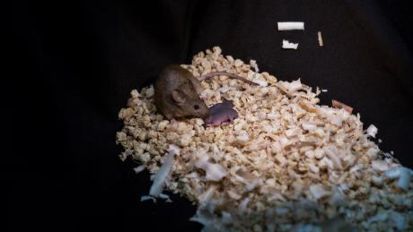 This image shows a healthy adult bimaternal mouse who was born to two mothers with offspring of her own.