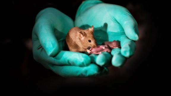 This image shows a healthy adult mouse born to two mothers with offspring of her own.