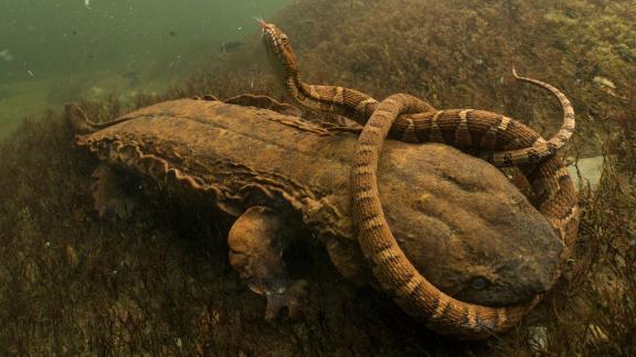 Category: Amphibians and Reptiles. US photographer David Herasimtschuk captured the hellbender, North America
