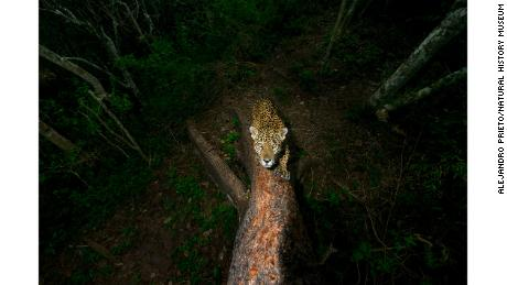 Category: Photojournalist Award for a Story. A male jaguar sharpens his claws and scratches his signature into a tree on the edge of his mountain territory in the Sierra de Vallejo, Mexico.