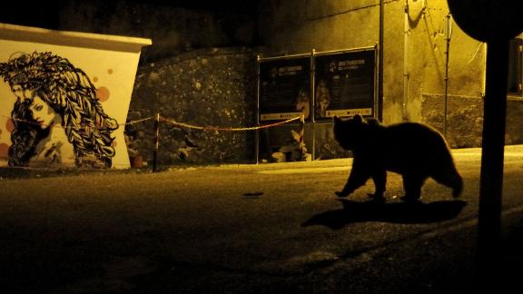 Category: Urban Wildlife. One of just 50 remaining Marsican brown bears wanders through a village in the Abruzzo region of Italy in search of food.