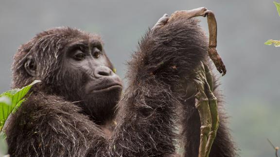 Category: Mammals. A young mountain gorilla in Uganda