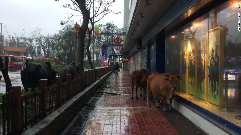 Cows are seen roaming the streets and sidewalks in the aftermath of Typhoon Mangkhut