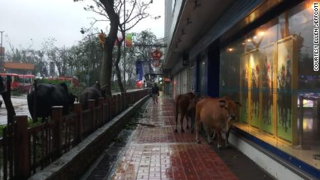 Cows are seen roaming the streets and sidewalks in the aftermath of Typhoon Mangkhut.