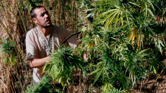 Abdelkhalek Ben Abdellah inspects cannabis in his fields in the Rif mountains of northern Morocco.
