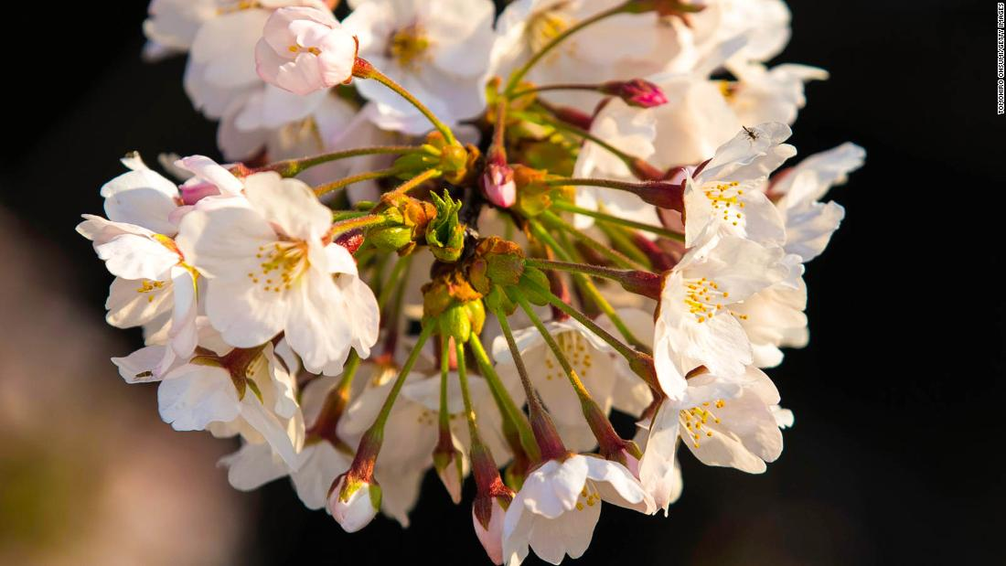 Storms make Japan cherry blossoms bloom early