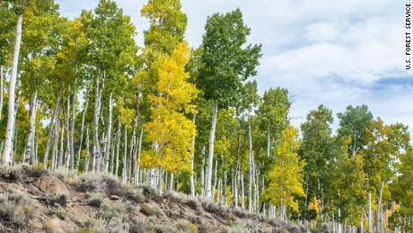 The Pando aspen clone, the world's largest organism, is a sprawling tribe of aspens in Utah.